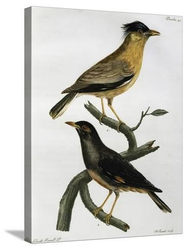Brahminy Starling (Sturnus Pagodarum) And--Stretched Canvas Print