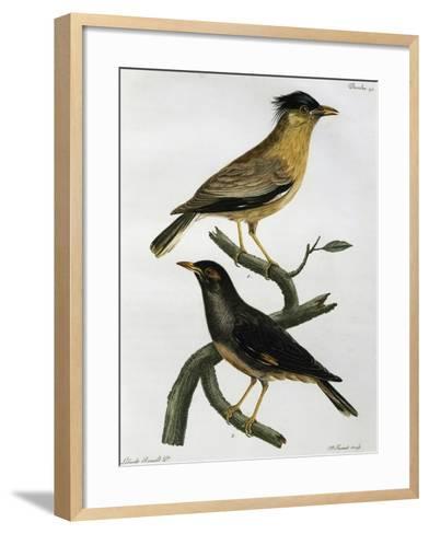 Brahminy Starling (Sturnus Pagodarum) And--Framed Art Print