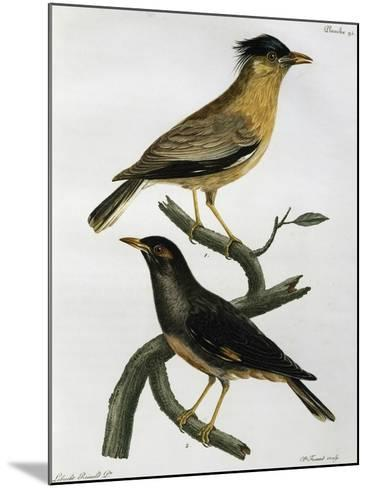 Brahminy Starling (Sturnus Pagodarum) And--Mounted Giclee Print