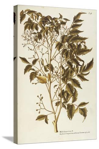 Chinaberry Tree or White Cedar (Melia Azedarach)--Stretched Canvas Print