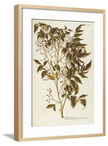 Chinaberry Tree or White Cedar (Melia Azedarach)--Framed Art Print