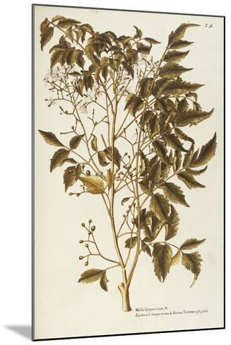 Chinaberry Tree or White Cedar (Melia Azedarach)--Mounted Giclee Print
