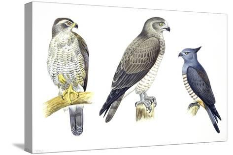 Birds: Falconiformes--Stretched Canvas Print