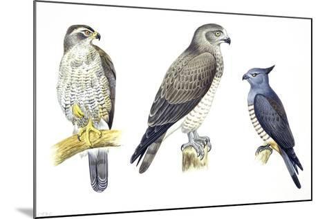 Birds: Falconiformes--Mounted Giclee Print