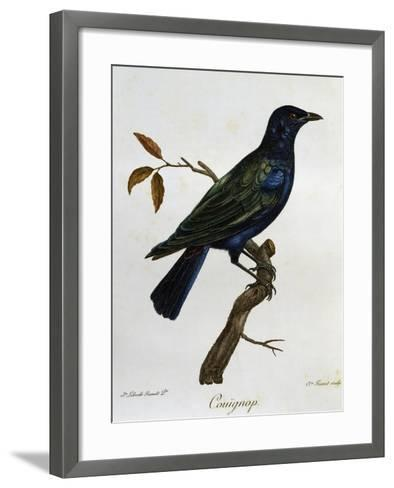 Black-Bellied Glossy-Starling (Lamprotornis Corruscus)--Framed Art Print