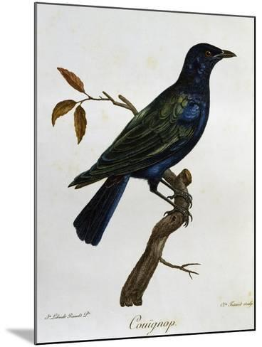 Black-Bellied Glossy-Starling (Lamprotornis Corruscus)--Mounted Giclee Print