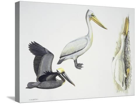 Birds: Pelecaniformes--Stretched Canvas Print