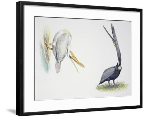 Birds: Pelecaniformes--Framed Art Print