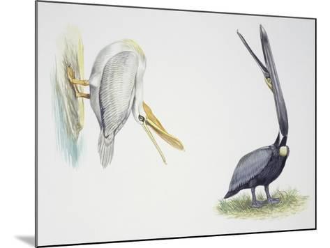Birds: Pelecaniformes--Mounted Giclee Print