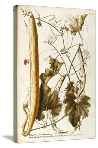 Cucurbitaceae--Stretched Canvas Print