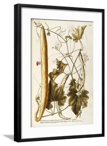 Cucurbitaceae--Framed Art Print