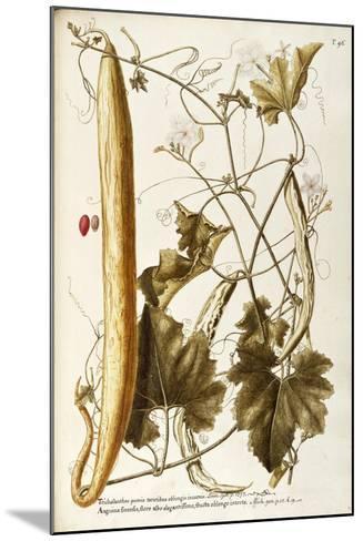 Cucurbitaceae--Mounted Giclee Print