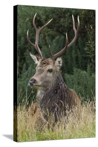 Close-Up of a Red Deer (Cervus Elaphus) Stag During Rut Resting--Stretched Canvas Print