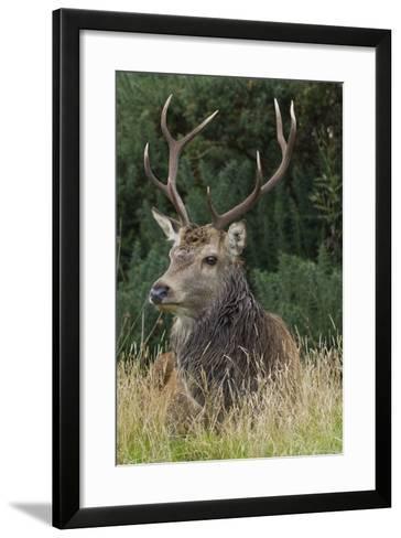 Close-Up of a Red Deer (Cervus Elaphus) Stag During Rut Resting--Framed Art Print