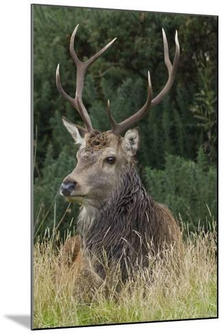 Close-Up of a Red Deer (Cervus Elaphus) Stag During Rut Resting--Mounted Photographic Print