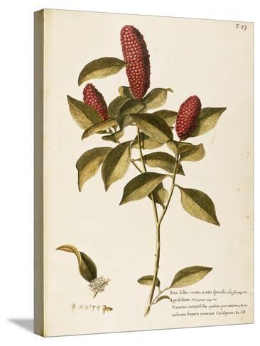 Common Holly (Ilex Aquifolium)--Stretched Canvas Print