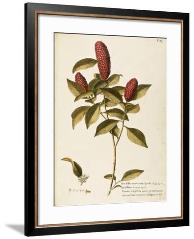 Common Holly (Ilex Aquifolium)--Framed Art Print