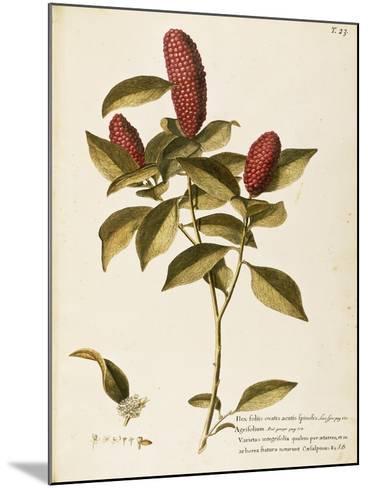 Common Holly (Ilex Aquifolium)--Mounted Giclee Print