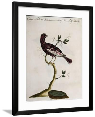 Cotinga or Thrush from the Indies (Cotinga Indica or Turdus Indicus Aliis)--Framed Art Print