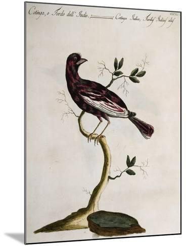 Cotinga or Thrush from the Indies (Cotinga Indica or Turdus Indicus Aliis)--Mounted Giclee Print
