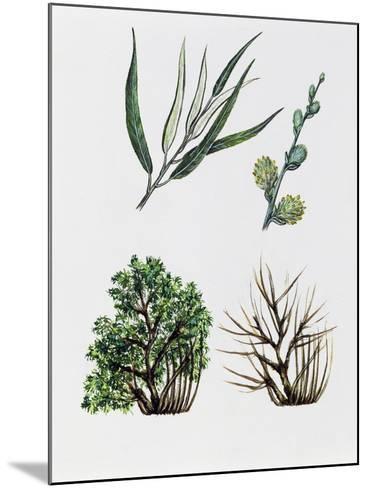 Common Osier or Osier Tree (Salix Viminalis)--Mounted Giclee Print