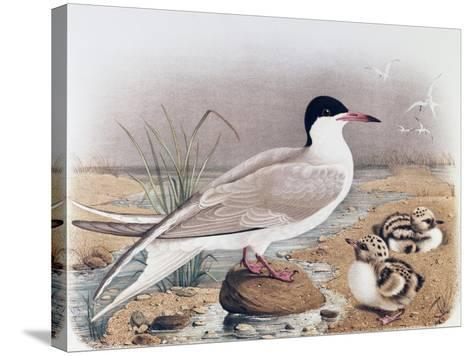 Common Tern (Sterna Hirundo)--Stretched Canvas Print