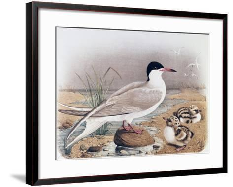 Common Tern (Sterna Hirundo)--Framed Art Print