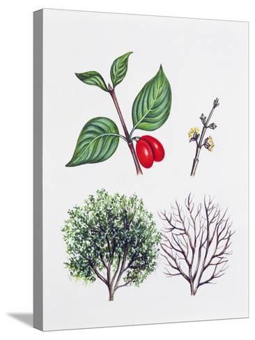 Cornelian Cherry or European Cornel (Cornus Mas)--Stretched Canvas Print