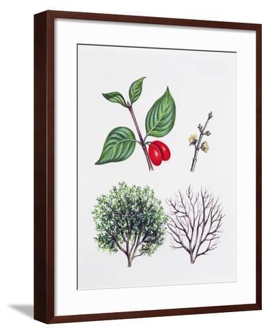 Cornelian Cherry or European Cornel (Cornus Mas)--Framed Art Print