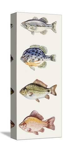 Fishes: Perciformes--Stretched Canvas Print