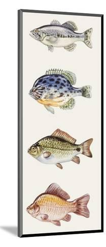Fishes: Perciformes--Mounted Giclee Print