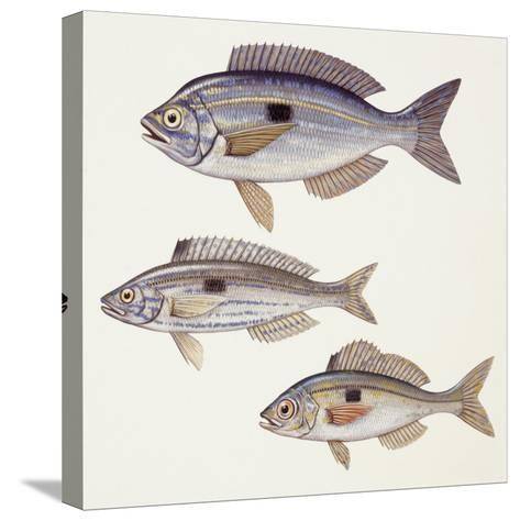 Fishes: Perciformes Centracanthidae - Picarel (Spicara Smaris)--Stretched Canvas Print