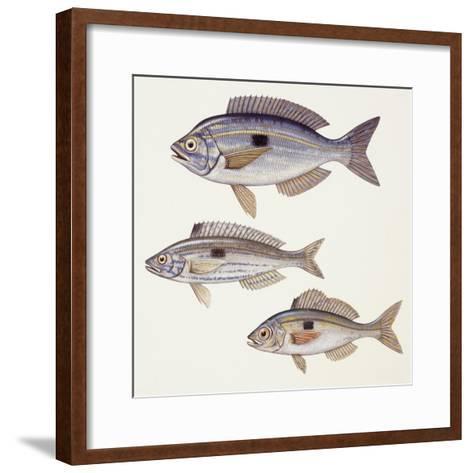Fishes: Perciformes Centracanthidae - Picarel (Spicara Smaris)--Framed Art Print