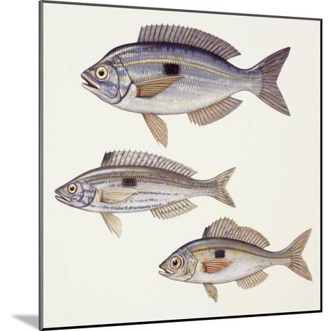 Fishes: Perciformes Centracanthidae - Picarel (Spicara Smaris)--Mounted Giclee Print