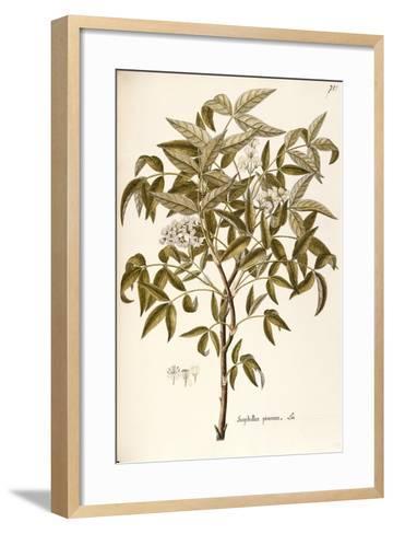 European Bladdernut (Staphylea Pinnata)--Framed Art Print