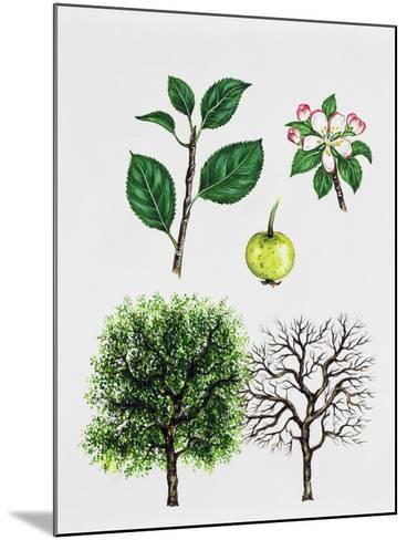 European Crab Apple (Malus Sylvestris)--Mounted Giclee Print