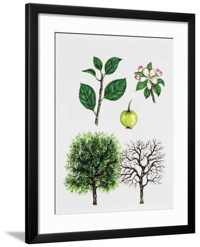 European Crab Apple (Malus Sylvestris)--Framed Art Print