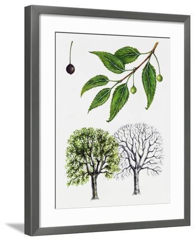 European Nettle Tree or Mediterranean Hackberry (Celtis Australis)--Framed Art Print