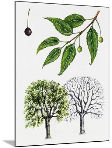 European Nettle Tree or Mediterranean Hackberry (Celtis Australis)--Mounted Giclee Print