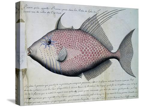Fish Called Bource--Stretched Canvas Print
