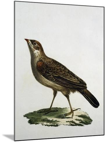 Female Cuckoo Roller--Mounted Giclee Print