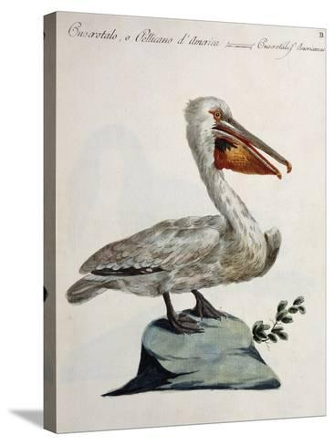 Great White Pelican or American Pelican (Onocrotalus Americanus)--Stretched Canvas Print