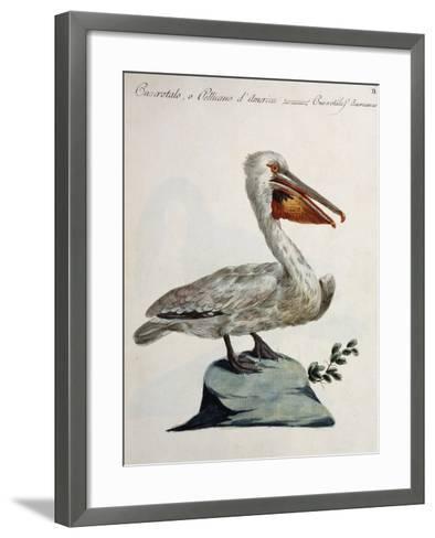 Great White Pelican or American Pelican (Onocrotalus Americanus)--Framed Art Print
