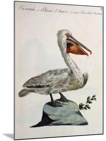 Great White Pelican or American Pelican (Onocrotalus Americanus)--Mounted Giclee Print