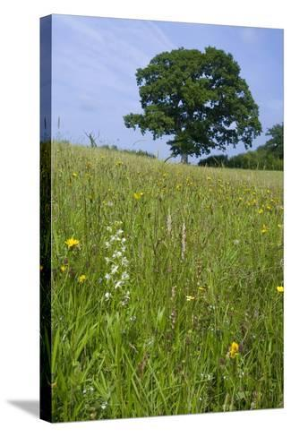 Greater Butterfly Orchid (Platanthera Chlorantha) Flowering on Hay Meadow on Set-Aside Field in Rur--Stretched Canvas Print