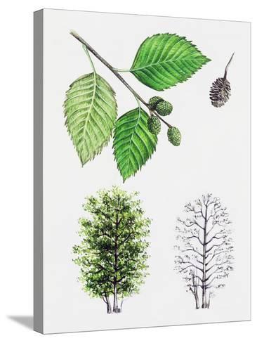 Grey Alder or Speckled Alder (Alnus Incana)--Stretched Canvas Print