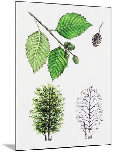 Grey Alder or Speckled Alder (Alnus Incana)--Mounted Giclee Print