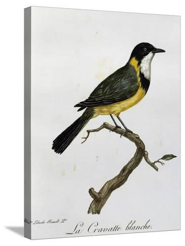 Golden Whistler (Pachycephala Pectoralis)--Stretched Canvas Print