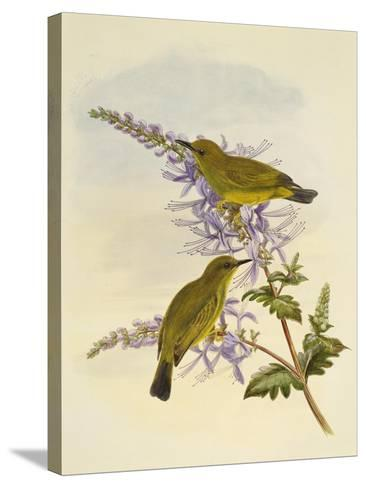 Grey-Throated White-Eye (Zosterops Rendovae)--Stretched Canvas Print