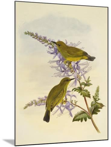 Grey-Throated White-Eye (Zosterops Rendovae)--Mounted Giclee Print